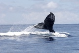 A Picture Dated October 2007 Shows a Couple of Humpback Whales in the Ocean