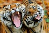 Two Tigers Yawning