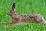 A Hare Running in a Cornfield