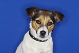 Jack Russell Terrier  Sitting  Close-Up