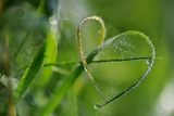 Grass Formed Itself in a Heart Shape with Morning Dew