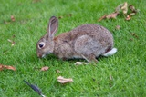 A Rabbit Sits on a Meadow Enjoying a Delicious Afternoon Snack of Fresh Green Grass in Munester