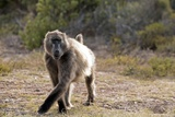 "A Baboon Is Running around the Premises of the ""Cape of Good Hope Nature Reserve"" Near Cape Town"