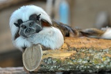 A Cottontop Tamarin Lays Inside its Compound at the The Thurinigian Zoopark in Erfurt