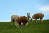 Alpacas Stand in a Meadow in Dresden Against a Blue Cloudy Sky
