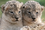 Two Female Lion Cubs  Born in Captivity in Serengeti Park