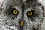 A Lapland-Great Gray Owl at the Zoo in Dortmunde