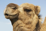 Close-Up of Camel's Head Against Blue Sky