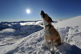A Dog Howling at the Nebelhorn Mountain in Bavaria in Winter