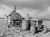 British Women's Land Army (WLA) Harvesting Beets During World War 2