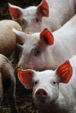 Organic Pigs at a Farm