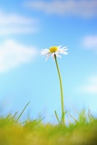 Single Camomile Flower and Grass