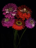 Close-Up of Zinnia Flowers  Studio Show