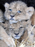 Two Lion Cubs  Born in Captivity in Serengeti Park