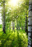 Summer Birch Woods with Sun