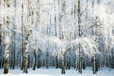 Birch Forest with Covered Snow Branches