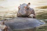 Baby Hippo 2