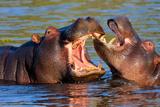 Game Two Young Hippopotamus, Hippopotamus Amphibius, Papier Photo par Vladislav333222