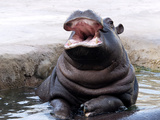 A Young Hippo