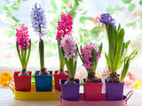 Multicolored Hyacinth