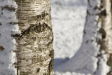 Winter Birch Trees - as a Background