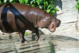 Pygmy Hippopotamus Opening its Mouth