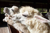 Close up Side View Face of Llama Alpacas in Ranch Farm