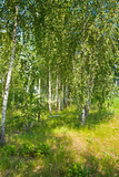 Beautiful Birch Grove