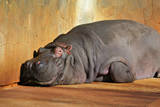 Hippopotamus Resting on Land
