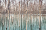 Birches in Flooded Countryside  Natural Pattern