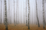Deeply Mist in Autumn Birch Forest