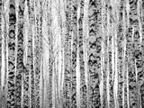 Winter Trunks Birch Trees