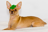 Chihuahua with Clover on Head