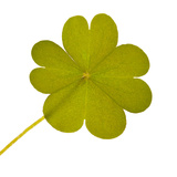 Four Element Clover Isolated Leaf