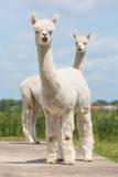 Two Peruvian Alpacas in a Dutch Animal Park