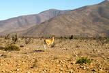 Llama in Punta De Choros  La Serena  Chile