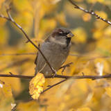 Autumn Sparrow Clodeup