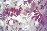 Purple Robinia