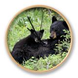Black Bear Sow Nursing a Spring Cub  Yellowstone National Park  Wyoming  USA