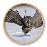 A Great Gray Owl Flying Close to Snowy Ground While Hunting  Strix Nebulosa  North America