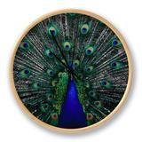 Peacock in Full Display  Quito  Pichincha  Ecuador