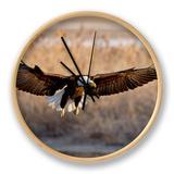 Bald Eagle (Haliaeetus Leucocephalus) in Flight on Final Approach  Farmington Bay  Utah  USA