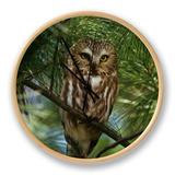 Northern Saw-Whet Owl (Aegolius Acadius) in a White Pine (Pinus Strobus)  North America