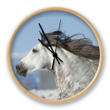 Grey Andalusian Stallion Head Profile While Cantering  Longmont  Colorado  USA