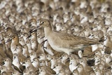 Willet with Shell in its Bill Surrounded by Western Sandpipers