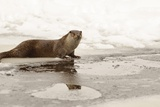 Wild Otter (Lutra Lutra) on the Frozen Lake  Bayerischer Wald National Park   Germania  Germany
