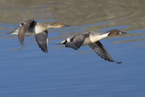 Pair of Northern Pintails in Flight