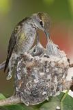Anna's Hummingbird Feeds Chicks in it's Nest