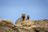 Banded Mongoose and Baby
