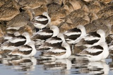 American Avocts Marbled Godwits and Willets Sleeping